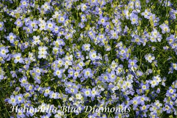 Heliophila longifolia Blue Diamonds 1-8 570